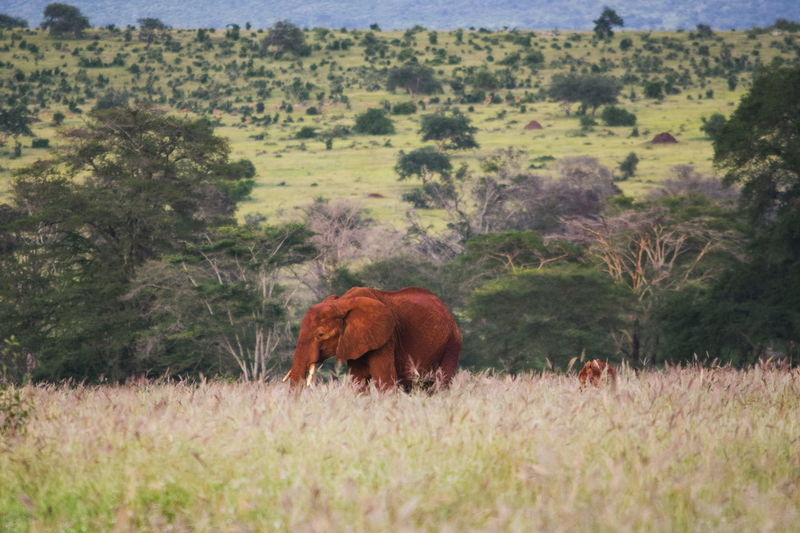 The red african elephants - loxodonta africana of tsavo, taita hills wildlife sanctuary, voi, kenya