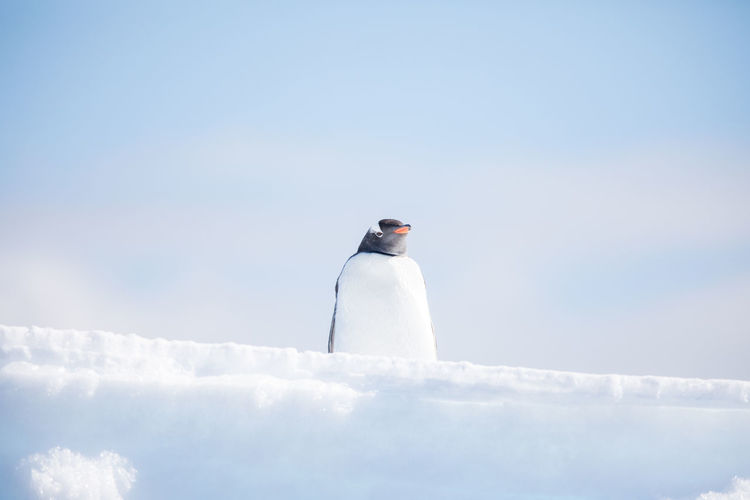 Low Angle View Of Penguin Standing On Snow Against Sky