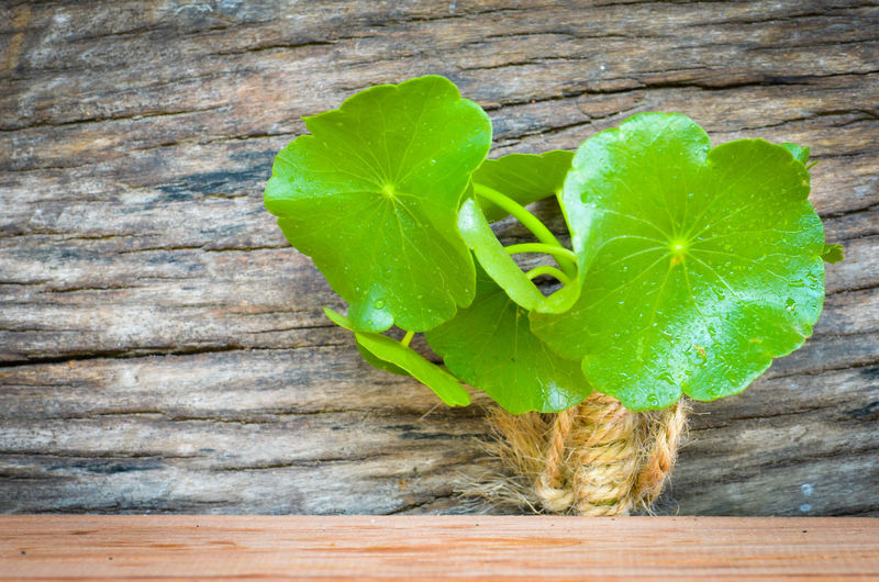 Pennywort on the old wooden,water drops on green leaf. Healthy Beautiful Plant Backgrounds Wood Outdoors Leaf 🍂 Pennywort Green Leaves Green Nature Beautiful Nature Green Leaf Foodphotography Weather Old Tree Born To Be Wild Textured  Background Texture Drops Of Water Freshness Healthy Eating Healthy Food Organic