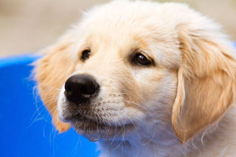 Golden Retriever Puppy Dogs Of EyeEm Hundewelpe Welpen Golden Retriever Puppy Goldenretriever Golden Retriever Dogs Of EyeEm EyeEm Selects Dog Pets Domestic Animals One Animal Animal Themes Mammal Portrait