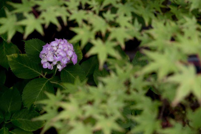 順番待ち Beauty In Nature Eye Em Nature Lover Japan あじさい アナベル Flowers EyeEm Flower My Favorite Place