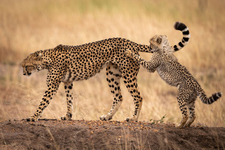 Cheetah Kenya Kicheche Nature Travel Africa Animal Animal Themes Animal Wildlife Animals Hunting Animals In The Wild Big Cat Carnivora Cat Cheetah Cub Feline Hunting Mammal Nature No People Outdoors Predator Running Safari Speed Spotted Survival Undomesticated Cat Wildlife