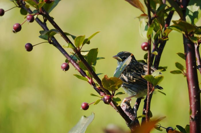 Young Bird Green Background Nature_collection Crab Apple Tree