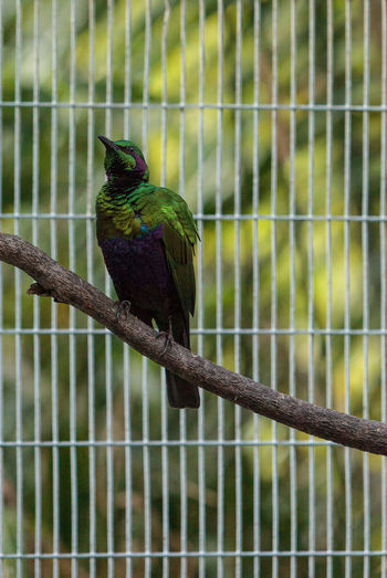 Emerald starling bird known as Lamprotornis iris is a beautiful green blue color Animal Themes Animal Wildlife Animals In The Wild Bird Birds Day Emerald Starling Green Lamprotornis Iris Nature No People One Animal Outdoors Perching Wildbird