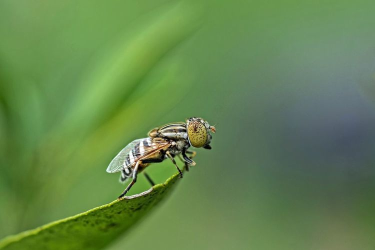 Hoover fly or flower fly with green background. Macro photography Animal Animal Themes Animal Wildlife Animal Wing Animals In The Wild Beauty In Nature Close-up Day Fly Green Color Insect Invertebrate Leaf Nature No People One Animal Outdoors Plant Plant Part Selective Focus Zoology