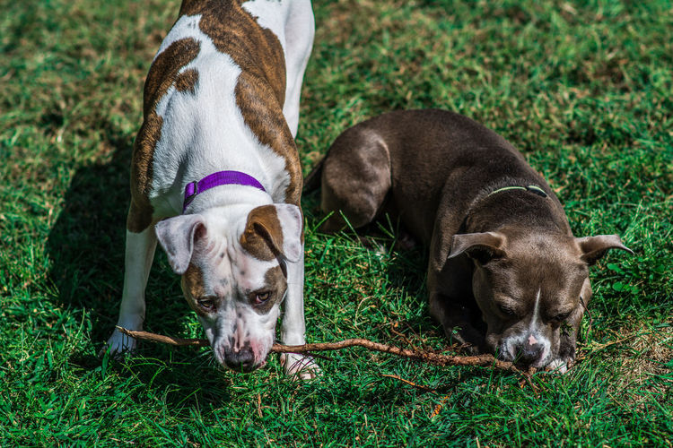 High angle view of dogs chewing branch