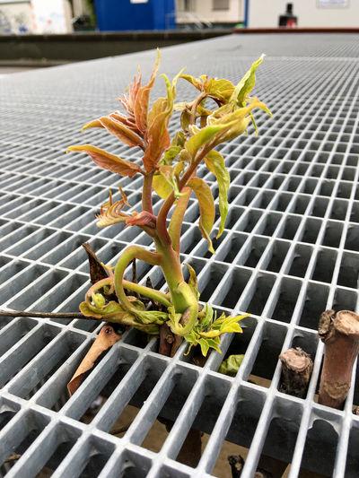 Close-up Flower Gitter Vor Dem Fenster Growth Keim Nature No People Pflanze Auf Metall Pflanze In Der Großstadt Pflanze Wächst Durch Gestell Plant Plant In City Plant On Mettall Rückeroberung