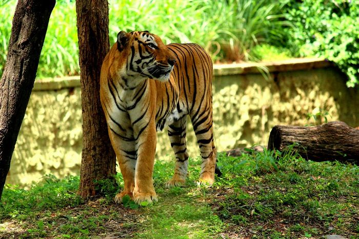 tiger does not shout its tigritude, it acts. One Animal Animal Head  Wildlife Nature Animal Animals In The Wild Tiger Tiger Walk