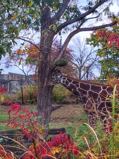Giraffe Giraffes Giraffe♥ Giraffes! Giraffe ♡ Giraffe.  Giraffeカフェ Indianapolis Zoo Zoo Day Zoo!