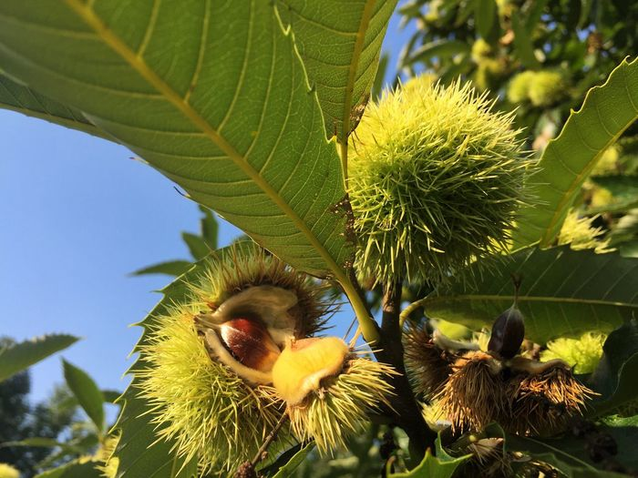 Nature Green Color Growth Nut - Food Leaf Beauty In Nature Day Freshness No People Food And Drink Outdoors Close-up Plant Fruit Tree Food Flower Fragility Chestnut Maroon
