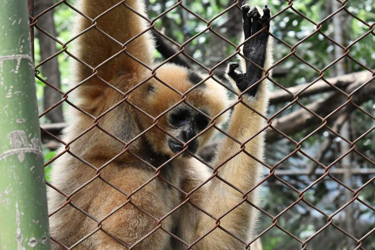 Freedom and sorrow Steel Cage Sad Gibbon Monkey Freedom Protection Chainlink Fence Metal Close-up Zoo