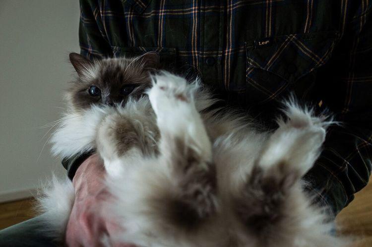 Blue Eyes Sacredbirman Cat