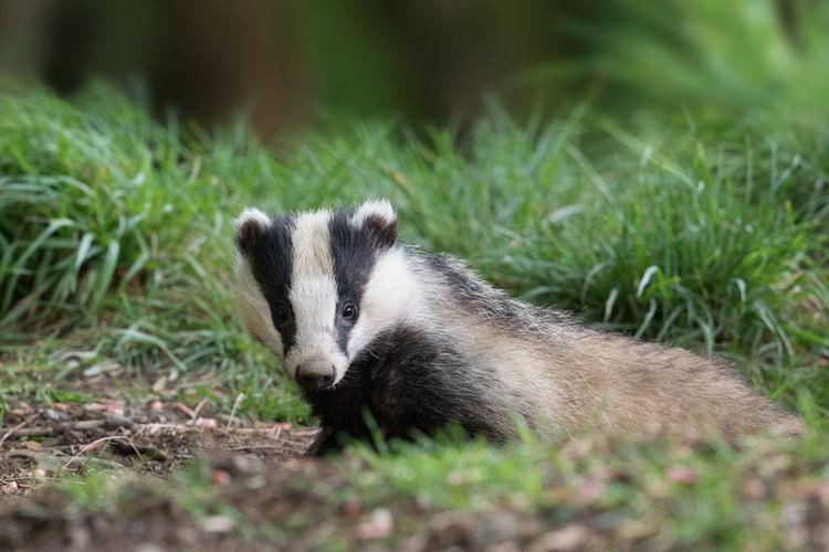 Close-up of badger looking at camera