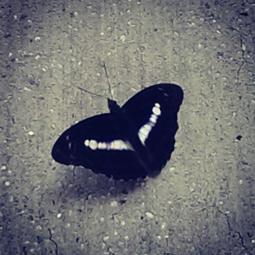 一早在住家附近看到的美麗蝴蝶