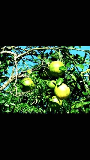 Green Color Beauty In Nature Hiking Trail Nice Day Fruits Lover Alone Time Having A Break Pomelo I Love It #Fruits ♡  Walking Around Foodanddrinks