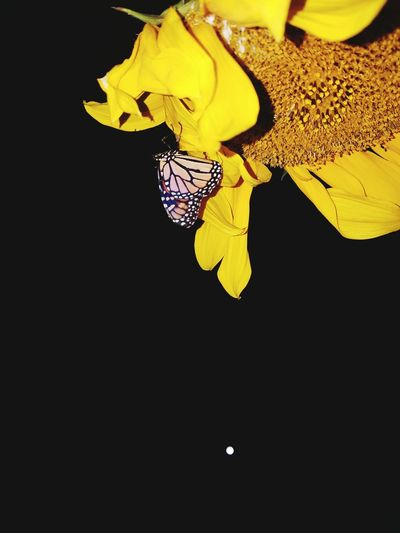 Black Background Pollen Flower Head Butterfly ❤ Natural Pattern Sunflowers🌻 Animal Markings Nighttime Photography Multi Colored Beauty In Nature No People