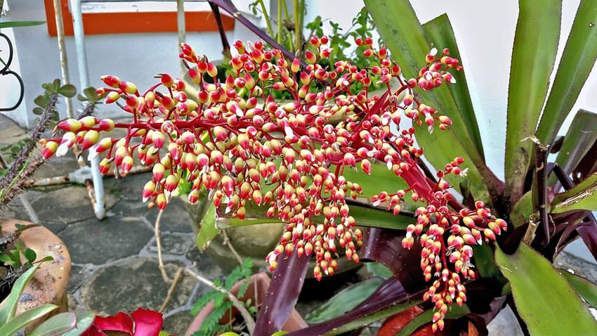 Bromeliad Flower Growth No People Nature Plant Day Outdoors Beauty In Nature Fragility