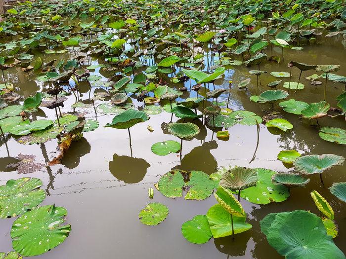 Lotus water lily leaves floating on lake