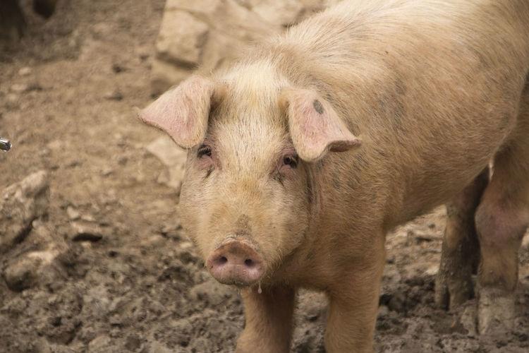 Sweet pig -