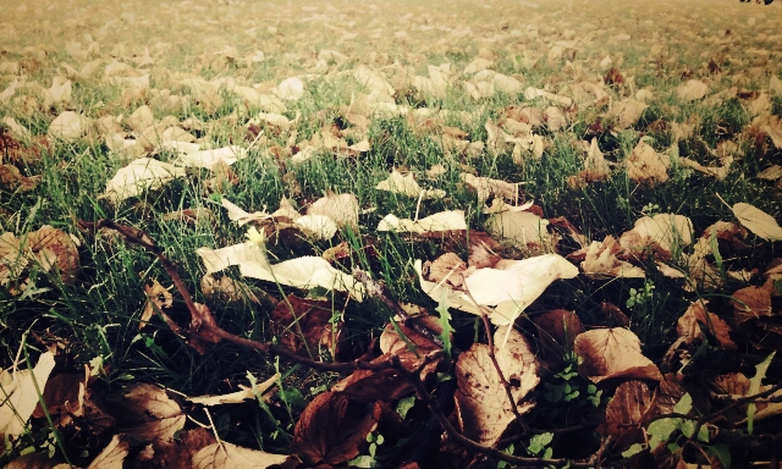 field, dry, leaf, autumn, grass, nature, fallen, change, high angle view, leaves, abundance, tranquility, season, day, outdoors, no people, beauty in nature, growth, full frame, ground