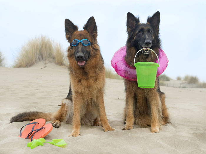 German shepherds with toys at beach