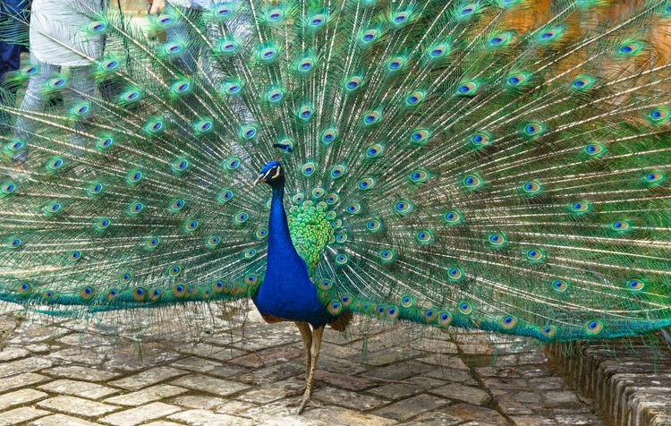 Animal Themes Animal Wildlife Animals In The Wild Beauty In Nature Bird Blue Close-up Day Fanned Out Feather  Multi Colored Nature No People One Animal Outdoors Peacock Peacock Feather Showing Vanity