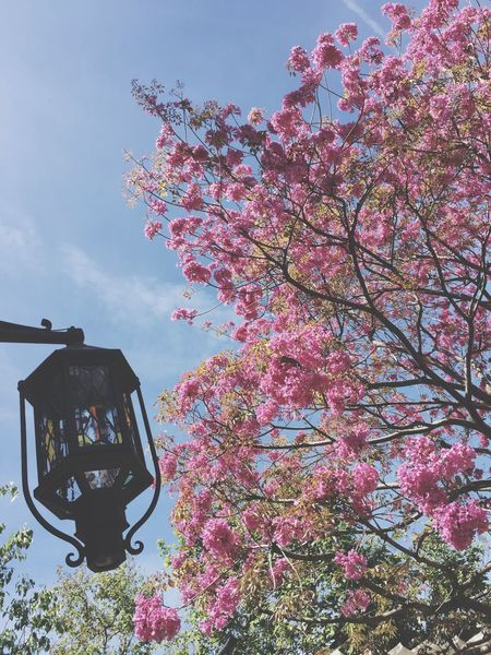 Tree Flower Growth Nature Sky Low Angle View Beauty In Nature Plant No People Pink Color Branch Outdoors Fragility Day Freshness Blooming Blossom Tree EyeEm EyeEm Best Shots EyeEm Nature Lover EyeEm Best Shots - Nature Nature Nature_collection Nature Photography