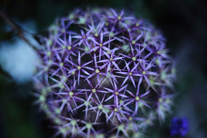 Flower Ball. Purple Close-up Selective Focus No People Outdoors Fragility
