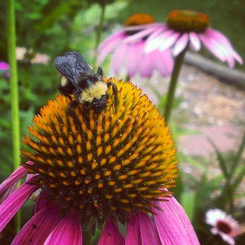 Hungry Hungry HoneyBee Bee Macro Beauty Flower Flowers Bug On A Flower Bug