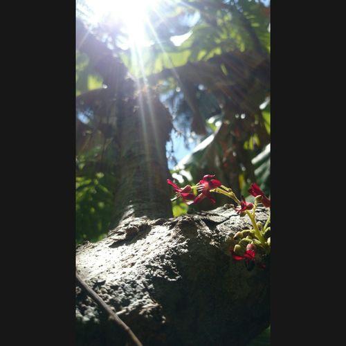 Bilimbi flowers. 🌺🌺 Flower Sunlit Beauty First Eyeem Photo First Eyeem Photo