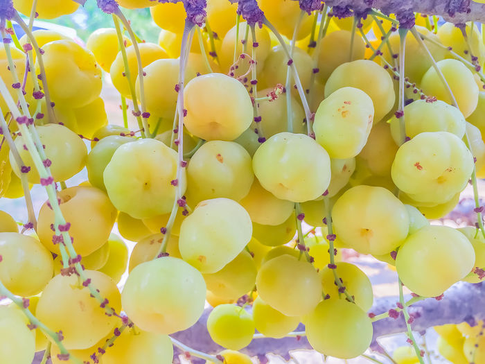 Close up to fresh and fruitful of star gooseberry on tree Backgrounds Close-up Day Food Food And Drink Freshness Fruit Fruitful Fruity Full Frame Gooseberry Growth Healthy Eating Nature No People Outdoors Star Gooseberry Yellow
