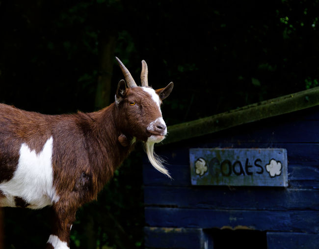 Portrait of goat standing against shed