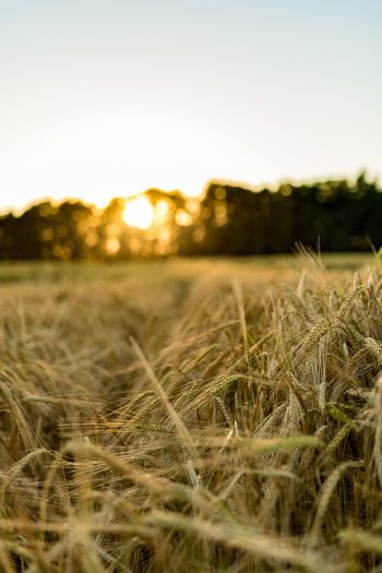 Sunset Field Cereal Tranquility Scenics Tranquil Scene Beauty In Nature Landscape Nature Close-up Growth Selective Focus Clear Sky Rural Scene Sun Non-urban Scene Back Lit Focus On Foreground Surface Level Plant