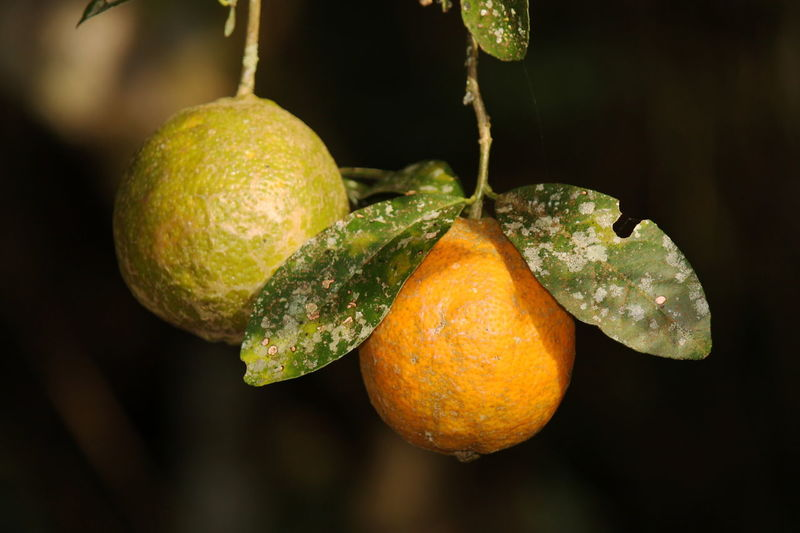 Delicious Colombian fruit in the morning Branch Citrus Fruit Close-up Day Food Food And Drink Freshness Fruit Growth Hanging Healthy Eating Leaf Nature No People Outdoors Tree