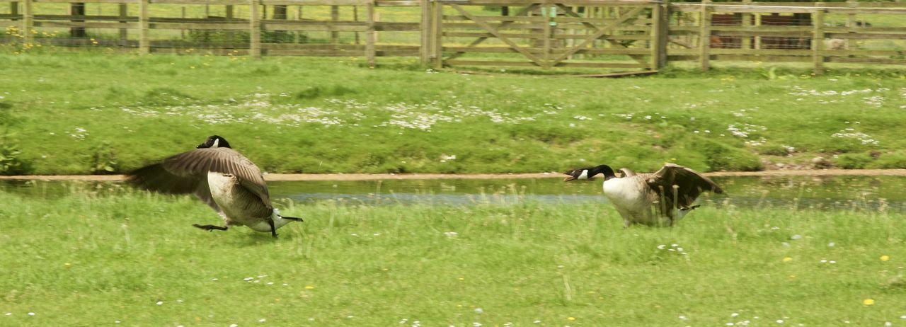 Beauty In Nature Canon1200DPhotography Canonphotography Day Ducks Field Fight Focus On Foreground Geese Grass Grassy Green Green Color Growth Landscape Nature Outdoors Plant Pond Scrap Shugborough Territorial Tranquility