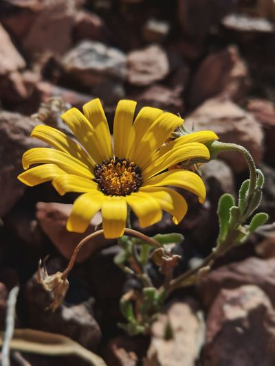 One stong little Arizona wildflower Eye4photography  EyeEm Best Shots EyeEm Nature Lover Eye4photography  EyeEmBestPics EyeEm Best Edits EyeEm Selects Flower Head Flower Yellow Petal Stamen Close-up Plant Flowering Plant Blossom In Bloom Wildflower