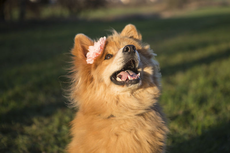 Portrait of a young eurasian dog with flower outdoors