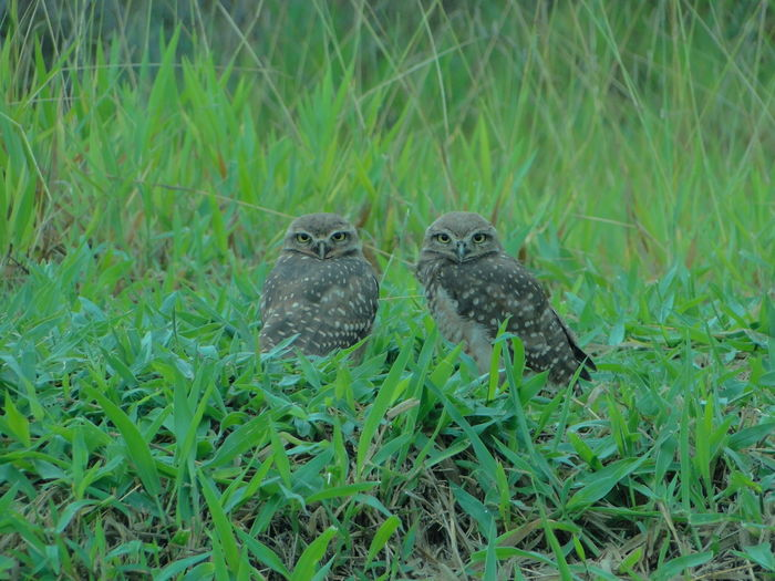 Animal Themes Animal Wildlife Animals In The Wild Bird Close-up Field Grass Green Color Nature Owl Owl Eyes Owls Owls Couple Be. Ready. EyeEmNewHere Be. Ready. EyeEm Ready   This Is Masculinity