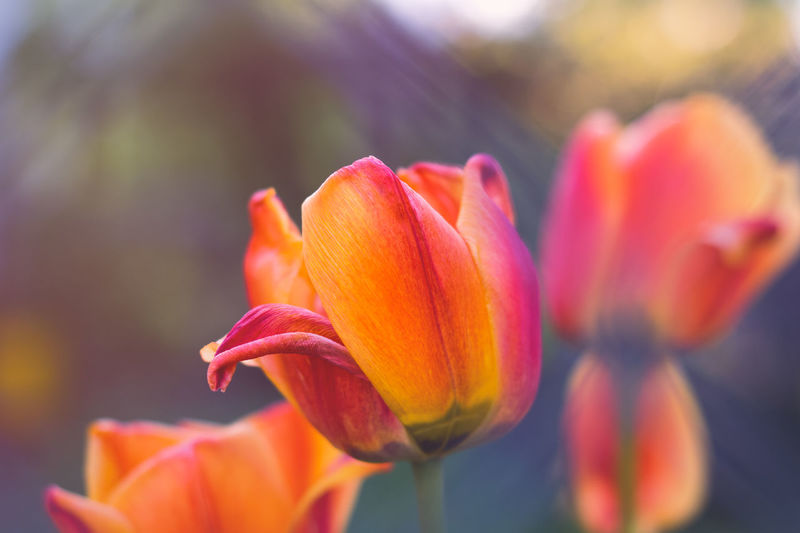 Close-up of orange tulip