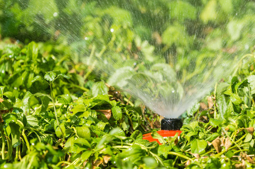 A modern Sprinkler System is watering the green Plants on a sunny and hot Day. Freshness Green Green Color Growth Plants Sunlight Background Close-up Drop Garden Garden Equipment Gardening Grass Heat - Temperature Leaves Motion No People Plant Part Spraying Sprinkler Sprinkler System Summer Technology Water Watering