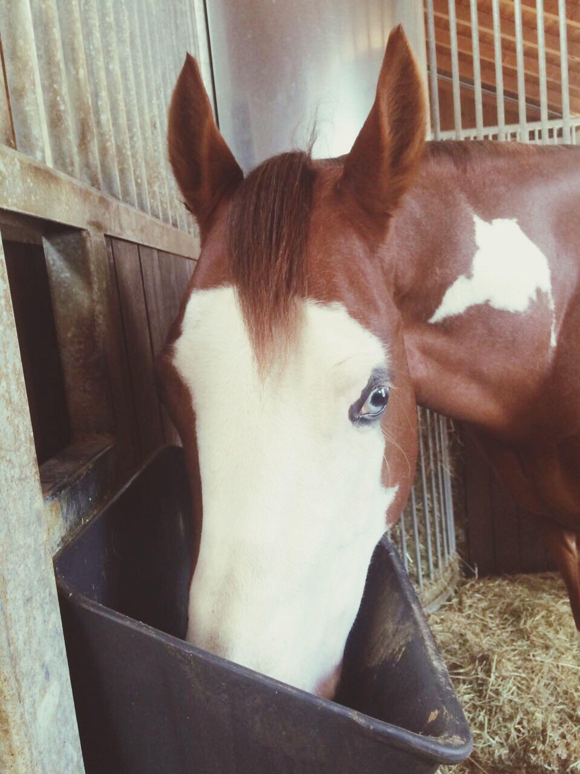 domestic animals, mammal, animal themes, one animal, pets, horse, animal head, no people, livestock, day, indoors, close-up