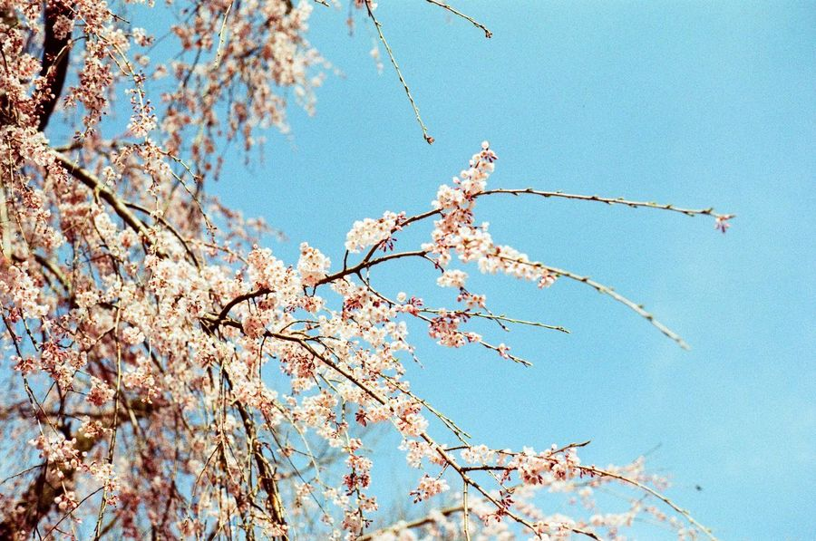 blooming love Beauty In Nature Believeinfilm Blooming Blossom Branch Cherry Blossom Cherry Tree Clear Sky Film Photography Filmisnotdead Flower Growth In Bloom Istillshootfilm Japan Kyoto Low Angle View No People Outdoors Showcase April Sky Springtime Ultimate Japan