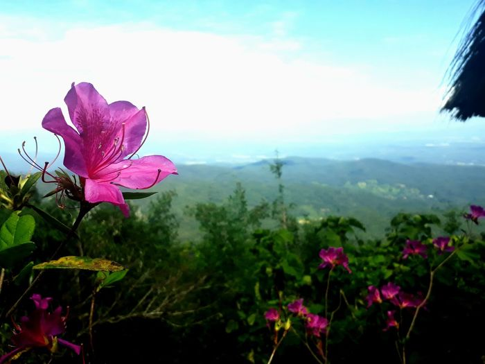 #chiangmai #Thailand #holiday #family #moncham Flower Pink Color Petal Sky Plant