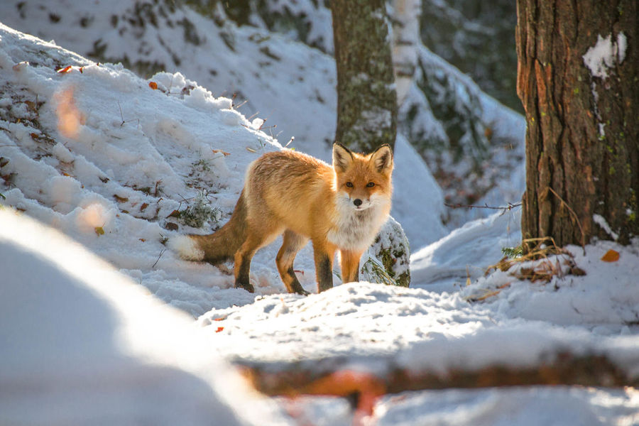 EyeEm Selects Animal Winter Animal Wildlife Snow Animals In The Wild One Animal Cold Temperature Outdoors Fox Nature No People Animal Themes Day Invierno Zorro Travel Forest Lindo  Bosque Beauty In Nature Snowflake Cute Animals In The Wild Nieve