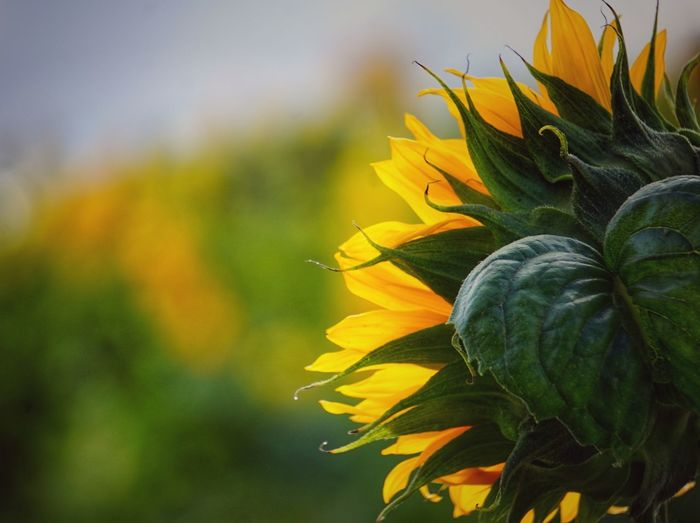 Close-up of sunflower plant