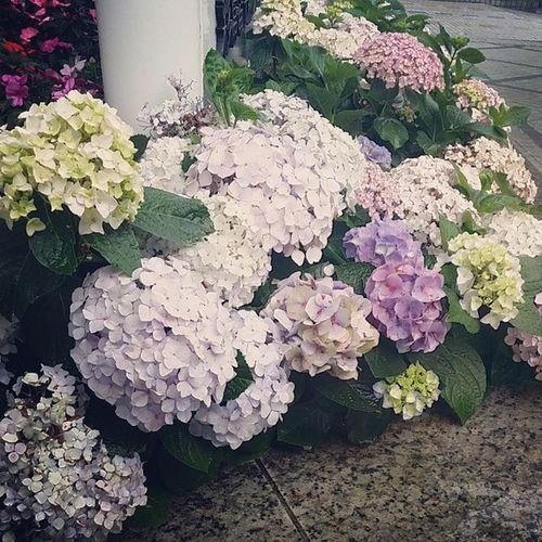 雨後の紫陽花 あじさい 初夏 しょか