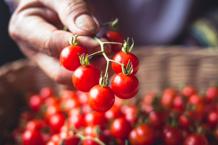 Tomato cherry in basket Tomato in hand South Asia Close-up Day Finger Focus On Foreground Food Food And Drink Freshness Fruit Hand Healthy Eating Holding Human Body Part Human Finger Human Hand One Person Plant Red Ripe Selective Focus Tomato Vegetable Wellbeing