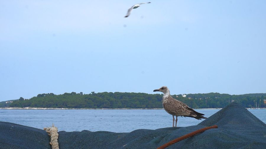 Singvogel Bird Bird Of Prey Water Blue Clear Sky Peacock Sky Sea Bird Seagull Water Bird