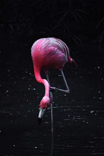 Flamingo scratching in lake