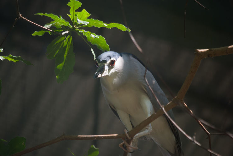 Low angle view of black crowned night heron perching on branch